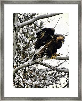 Golden Eagle Stretching Framed Print by Don Mann