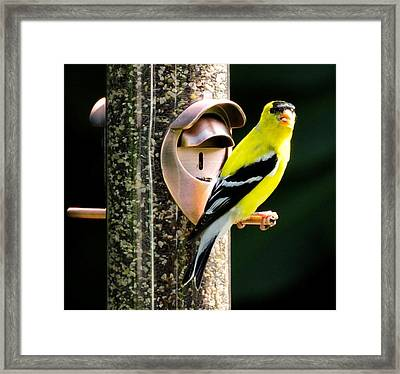 Golden Finch Framed Print by Terri Albertson