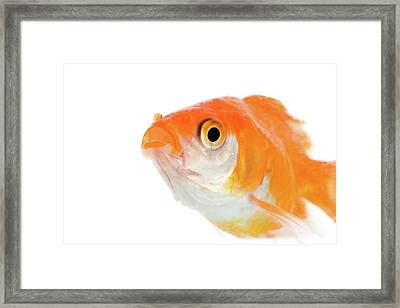 Golden Fish Framed Print