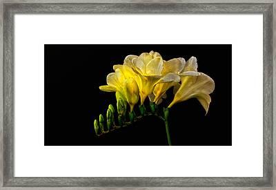 Golden Freesia Framed Print by Floyd Hopper