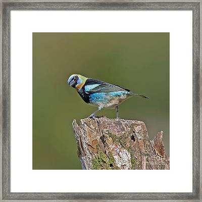 Golden-hooded Tanager Framed Print