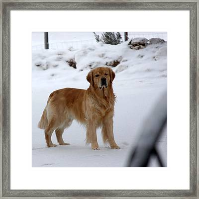 Framed Print featuring the photograph Golden In Snow by Marta Alfred