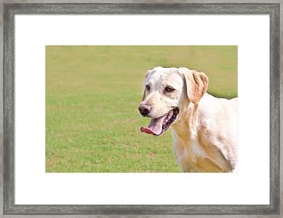 Golden Labrador Framed Print by Tom Gowanlock