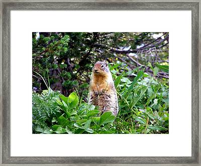 Golden Mantled Ground Squirrel  - Standing Framed Print by Mark Caldwell