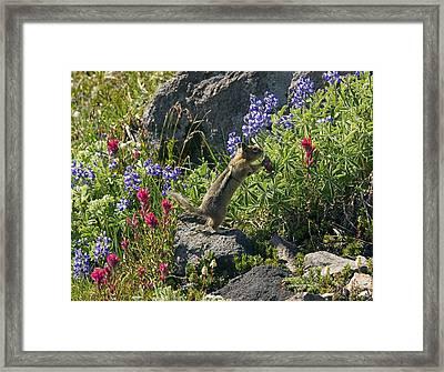 Golden-mantled Ground Squirrel Feeding Framed Print by Bob Gibbons