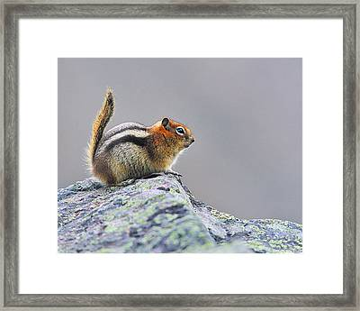 Golden-mantled Ground-squirrel Framed Print