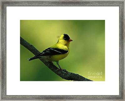 Golden Moments - American Goldfinch  Framed Print by Inspired Nature Photography Fine Art Photography