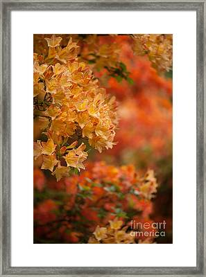 Golden Orange Radiance Framed Print by Mike Reid