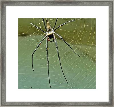 Golden Orb Spider Framed Print by Jocelyn Kahawai