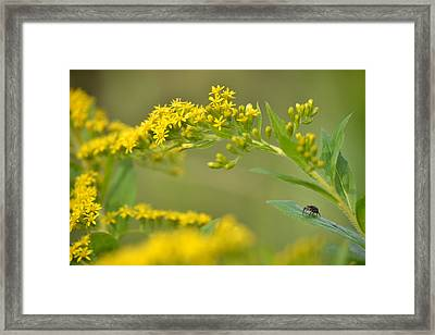 Golden Perch Framed Print