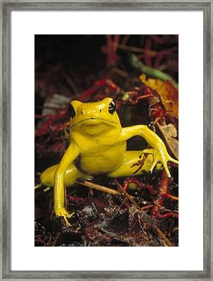 Golden Poison Dart Frog Phyllobates Framed Print by Mark Moffett