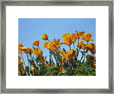 Framed Print featuring the photograph Golden Poppies Basking In The Sun by Cindy Wright