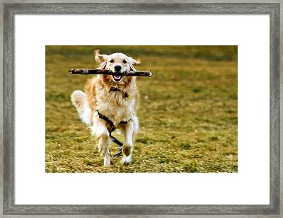 Golden Retreiver With Stick Framed Print by Stephen O'Byrne
