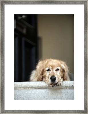 Golden Retriever Dog Lying In Front Door Of House, Looking Away (focus On Foreground) Framed Print by Janie Airey