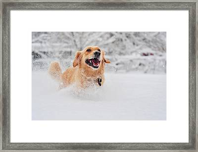 Golden Retriever Dog Running On Fresh Snow Framed Print by Maya Karkalicheva