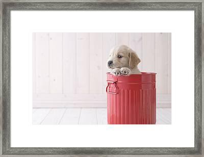 Golden Retriever In A Bucket Framed Print