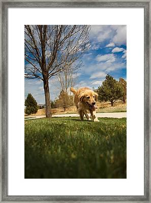 Golden Retriever Framed Print by Mike Ricci