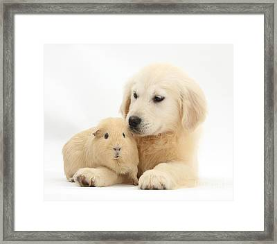 Golden Retriever Pup And Yellow Guinea Framed Print by Mark Taylor
