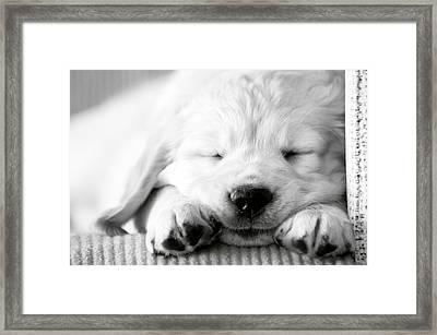 Golden Retriever Puppy Framed Print by Carmen Martínez Torrón Photography