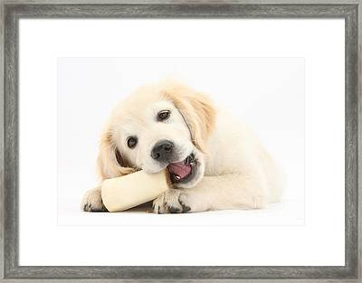 Golden Retriever Puppy Chewing A Bone Framed Print by Mark Taylor