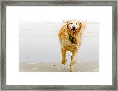 Golden Retriever Running On Beach Framed Print by Stephen O'Byrne