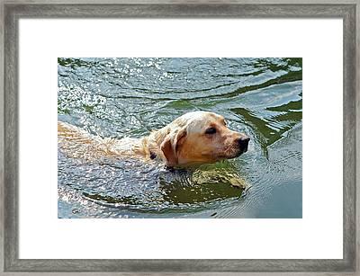Golden Retriever Swimming Close Framed Print by Susan Leggett