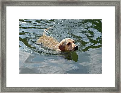 Golden Retriever Swimming Framed Print by Susan Leggett