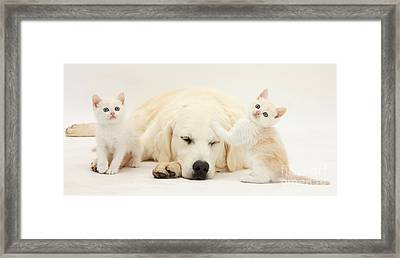 Golden Retriever With Two Kittens Framed Print by Mark Taylor