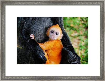 Golden Silvery Lutung Baby Framed Print by MelindaChan