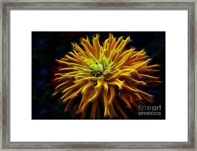 Golden Zinnia Glow Framed Print by Darleen Stry
