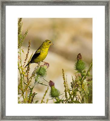Goldfinch On Lookout Framed Print by Bill Pevlor