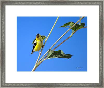 Goldfinch On Sunflowers Framed Print by Stephen  Johnson