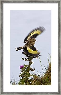 Goldfinch On Thistle Framed Print
