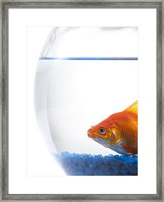 Goldfish In Bowl On White Background Framed Print by Rubberball