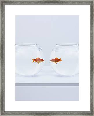 Goldfish In Separate Fishbowls Looking Face To Face Framed Print by Adam Gault