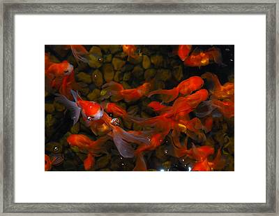 Goldfish Framed Print by Luis Esteves