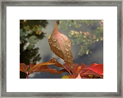 Goldidrops Framed Print by Richard Cummings