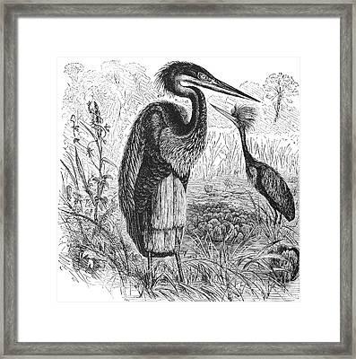 Goliath Heron Framed Print by Granger