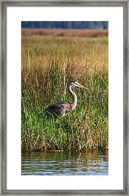 Good Morning - Blue Heron Framed Print
