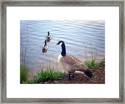 Framed Print featuring the photograph Goose And Ducks by Kelly Hazel
