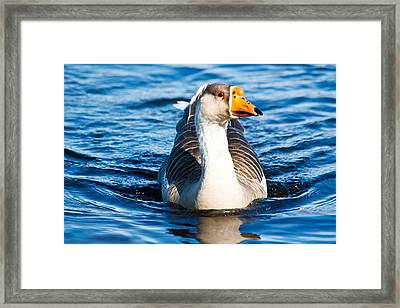 Goose Coming Into Shore  Framed Print by Ann Murphy