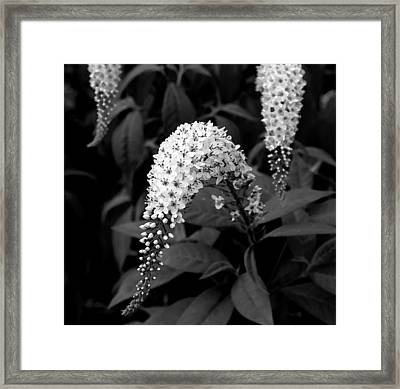 Framed Print featuring the photograph Gooseneck Loosestrife by Michael Friedman