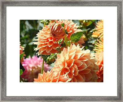 Gorgeous Orange Dahlia Flowers Floral Art Prints Framed Print by Baslee Troutman