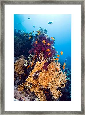Gorgonian And Soft Coral Framed Print by Georgette Douwma