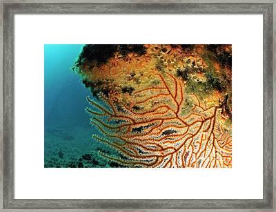 Gorgonian Fan And Ocean Floor Framed Print by Sami Sarkis