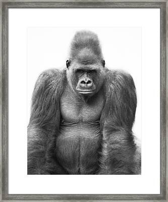 Gorilla Framed Print by Darren Greenwood