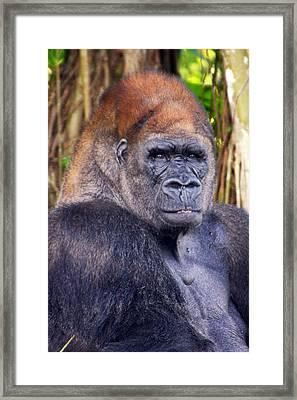 Gorilla Posing Framed Print by Joe Myeress