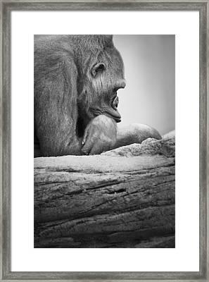 Gorilla Resting Framed Print by Darren Greenwood