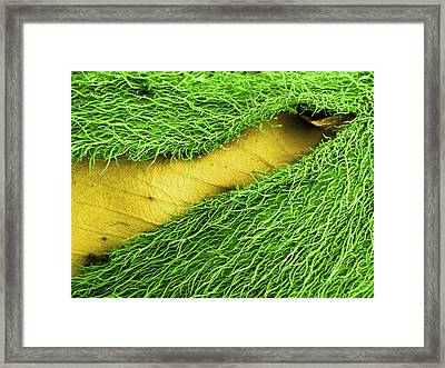 Gorse Flower Bud, Sem Framed Print