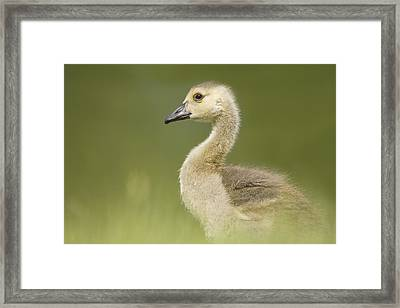Gosling Framed Print by Lisa Franceski Wildlife Photography